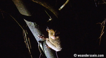 kinabatangan jungle nightwalk tarsier